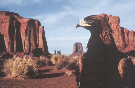 golden eagle flying. Canyon Killer Golden eagle by