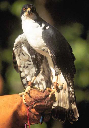 Zorro Of The Skies Africa S Black Sparrowhawks
